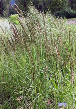 Calamagrostis stricta - Northern reed grass
