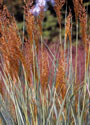 Sorghastrum nutans 'Indian Steel' - Indian Grass