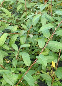 Salix pentandra - Bay or Laurel Willow