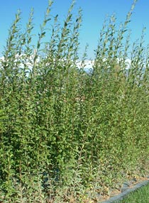 Salix triandra 'Black Maul'